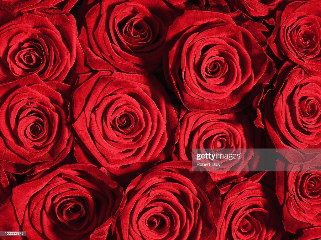 赤いバラの花のクローズアップ : ストックフォト