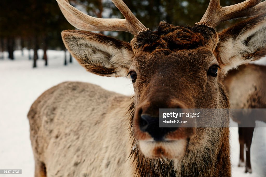 Close up of reindeer in snow : Stock Photo