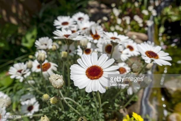 Close up of Rhodanthemum 'African Eyes' Moroccan daisy white flowers in spring.