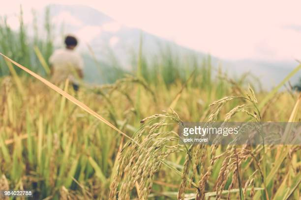 close up of rice crops in a field near thimphu - ipek morel stock pictures, royalty-free photos & images