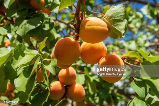 close up of ripe apricots growing on a tree at capitol reef national park in utah - apricot stock pictures, royalty-free photos & images