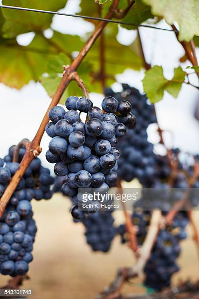 Close up of ripe bunches of red grapes on vine, Kelowna, British Columbia, Canada