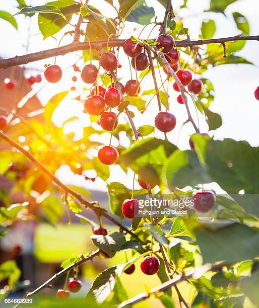 Close up of ripe cherries on sunlit cherry tree