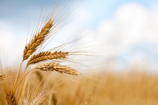 Close up of ripe wheat ears 119165809