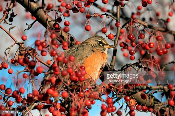 Close up of robin Turdus migratorius perched in ornamental crab apple tree and surrounded by red berries