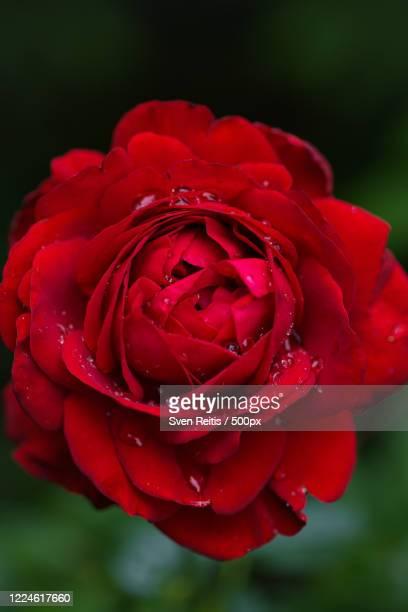 close up of rose flower, neu isenburg, germany - neu fotografías e imágenes de stock