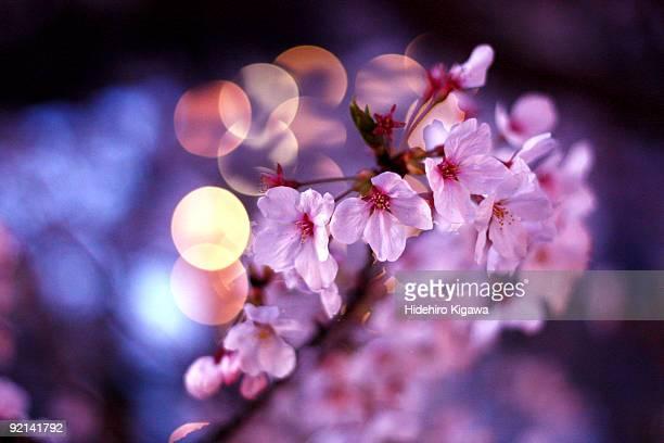 Close up of Sakura
