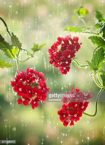 Close up of Scarlet Verbena Tukana  in the rain.