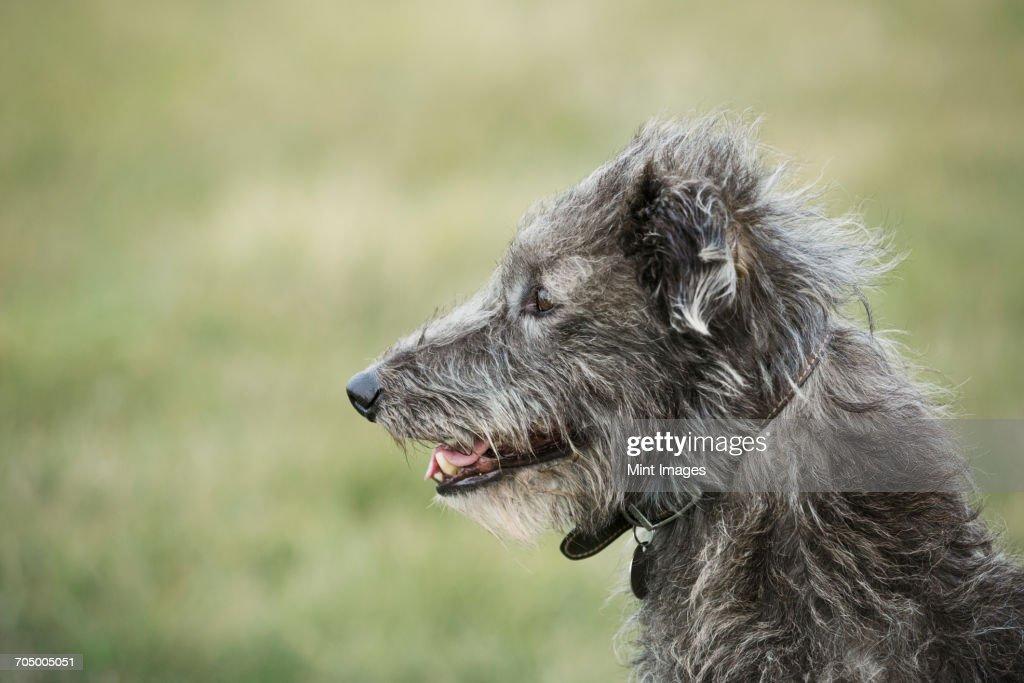 Close up of Scottish Deerhound sitting in a field. : Stock Photo
