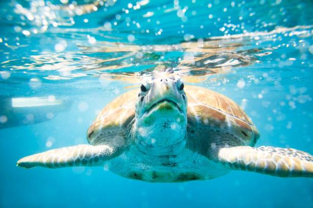 Close Up Sea Turtle Caribbean - Fine Art prints