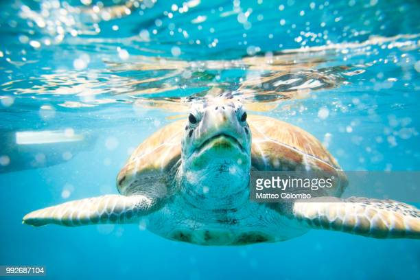 close up of sea turtle in the caribbean sea - barbados stock pictures, royalty-free photos & images