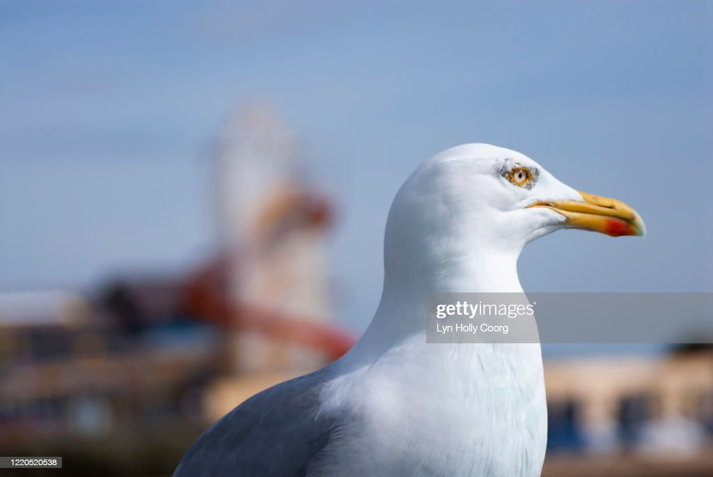 Close up of seagull with heater skelter in background : Stock Photo