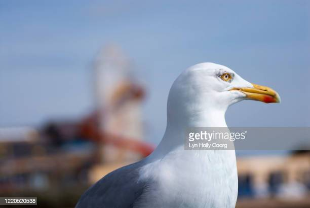 close up of seagull with heater skelter in background - lyn holly coorg stock pictures, royalty-free photos & images