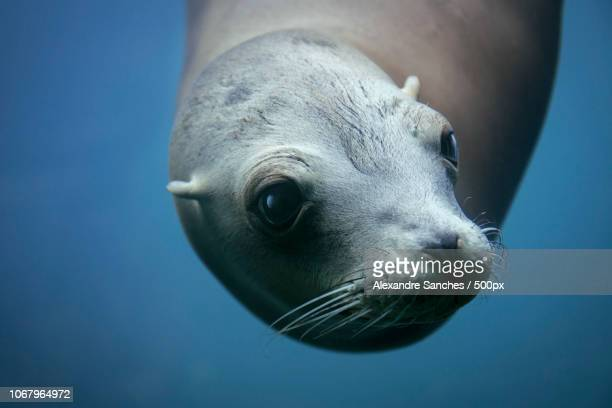 close up of seal head - parte do corpo animal - fotografias e filmes do acervo
