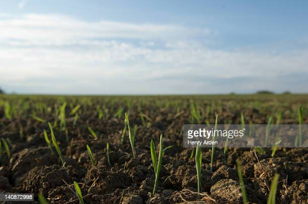 close up of seedlings in crop field - crop stock pictures, royalty-free photos & images