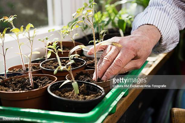 Close up of senior mans hand checking plant soil in greenhouse