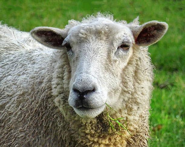 Close Up Of Sheep Wall Art