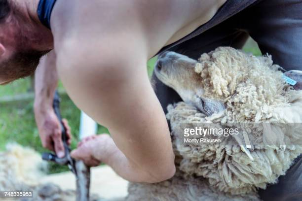 Close up of sheep shearer shearing sheep
