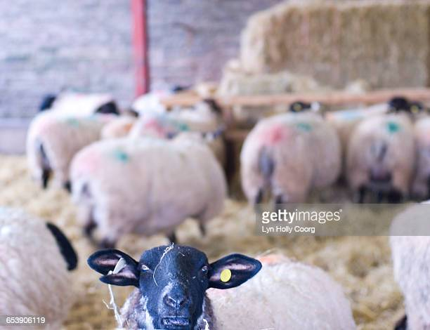 close up of sheeps face in barn - lyn holly coorg stock pictures, royalty-free photos & images