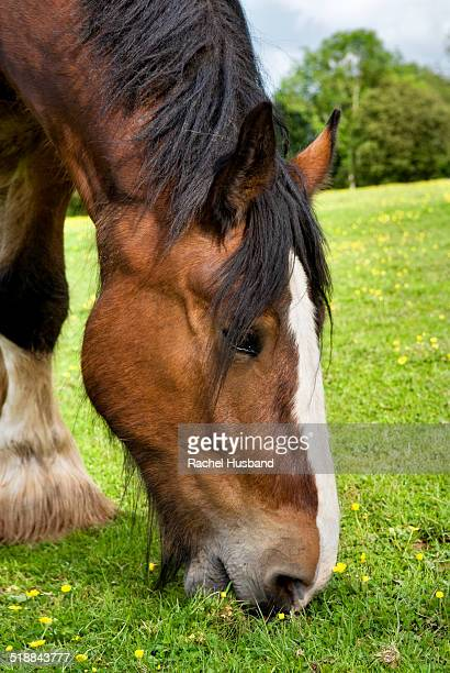 close up of shire horse grazing in field - shire horse stock pictures, royalty-free photos & images