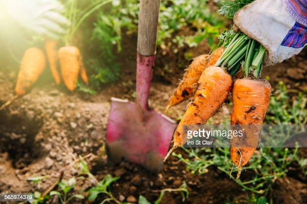 close up of shovel and harvested carrots in garden - gemüsegarten stock-fotos und bilder
