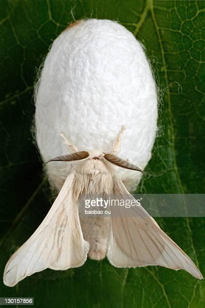 Close up of silk moth
