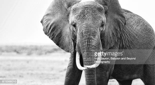 Close Up of Single Elephant Looking at Camera