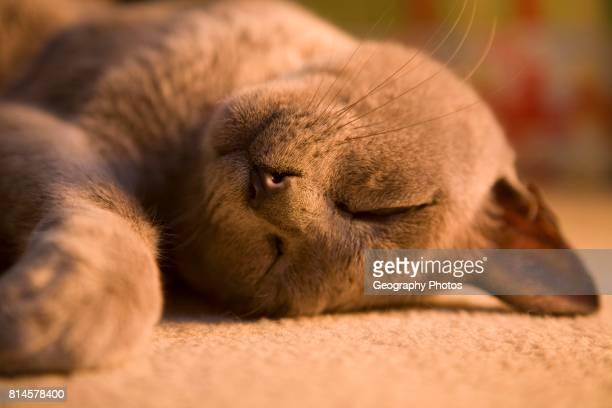 Close up of sleeping burmese cat lying on carpet.