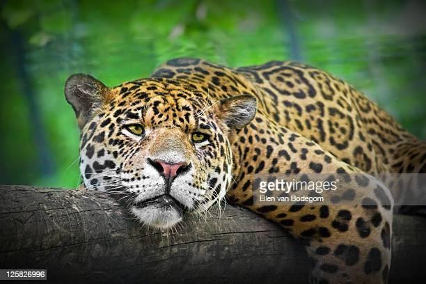 Close up of sleeping jaguar