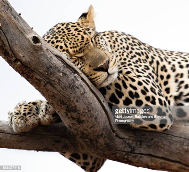 Close Up of Sleeping Leopard Face in Samburu, Kenya