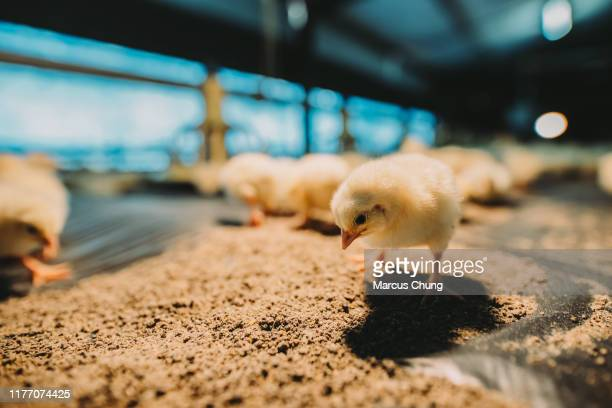 close up of small cute newborn chicks in farm house - baby chicken stock pictures, royalty-free photos & images