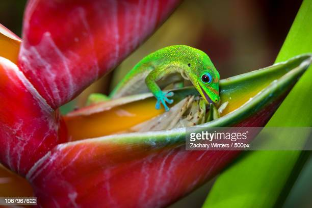 close up of small lizard eating nectar from flower - geco foto e immagini stock