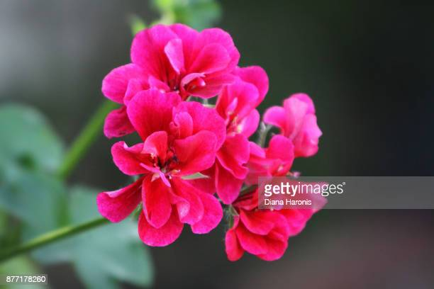 close up of some bright pink geraniums growing in a garden. - geranium stock pictures, royalty-free photos & images