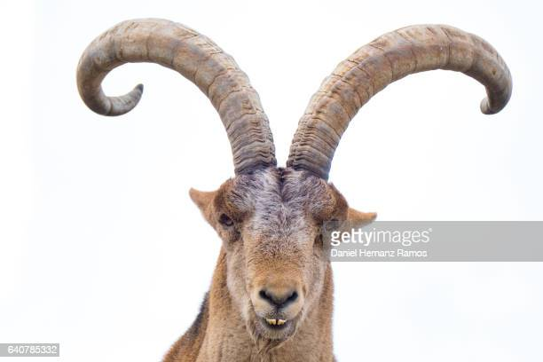close up of spanish ibex looking at camera with white background - ibex ストックフォトと画像