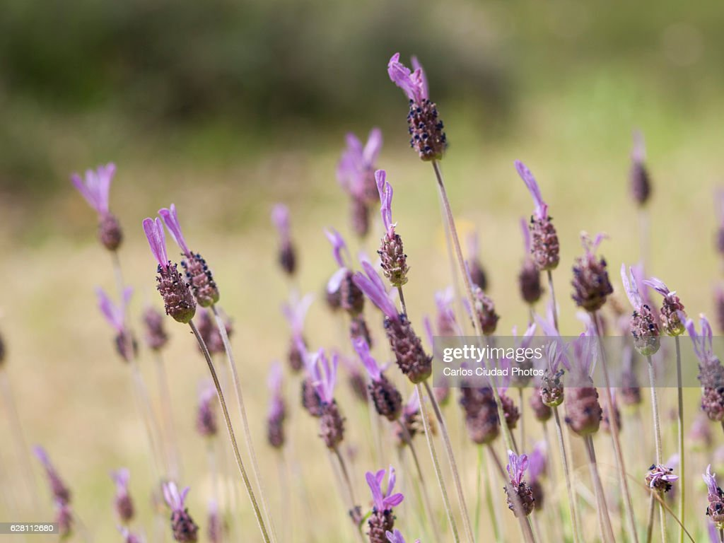 Close up of Spanish lavender (Lavandula stoechas) : Stock Photo