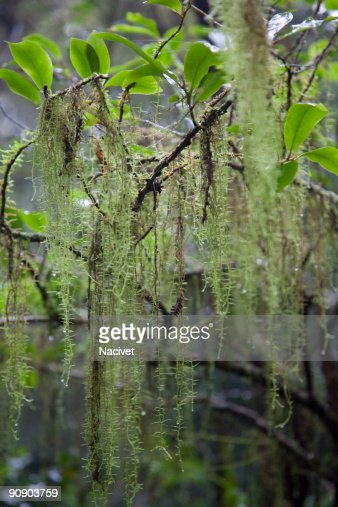 Close Up Of Spanish Moss On Branch High-Res Stock Photo ...