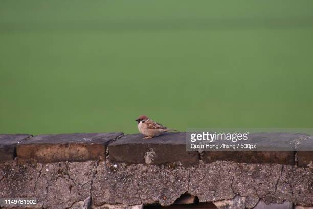 close up of sparrow perching on fence - hong quan stock pictures, royalty-free photos & images