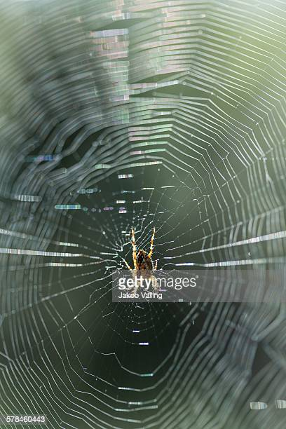 Close up of spider in centre of sunlit spiders web