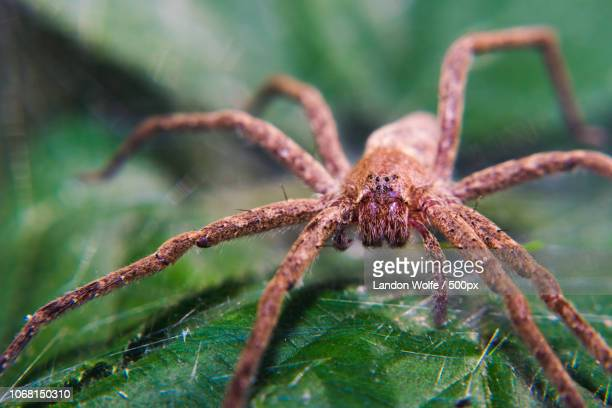 close up of spider on leaf - ugly spiders stock photos and pictures