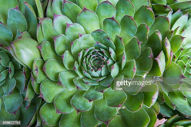 Close up of Spiral Leaf Pattern,  Desert Plants