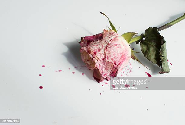 Close up of Splash of rose