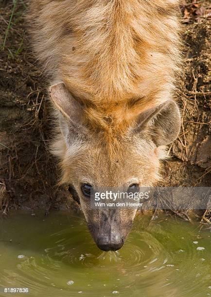 close up of spotted hyaena, greater kruger national park, south africa - spotted hyena stock pictures, royalty-free photos & images