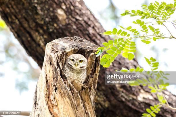 close up of spotted owlet(athene brama) - diosa atenea fotografías e imágenes de stock
