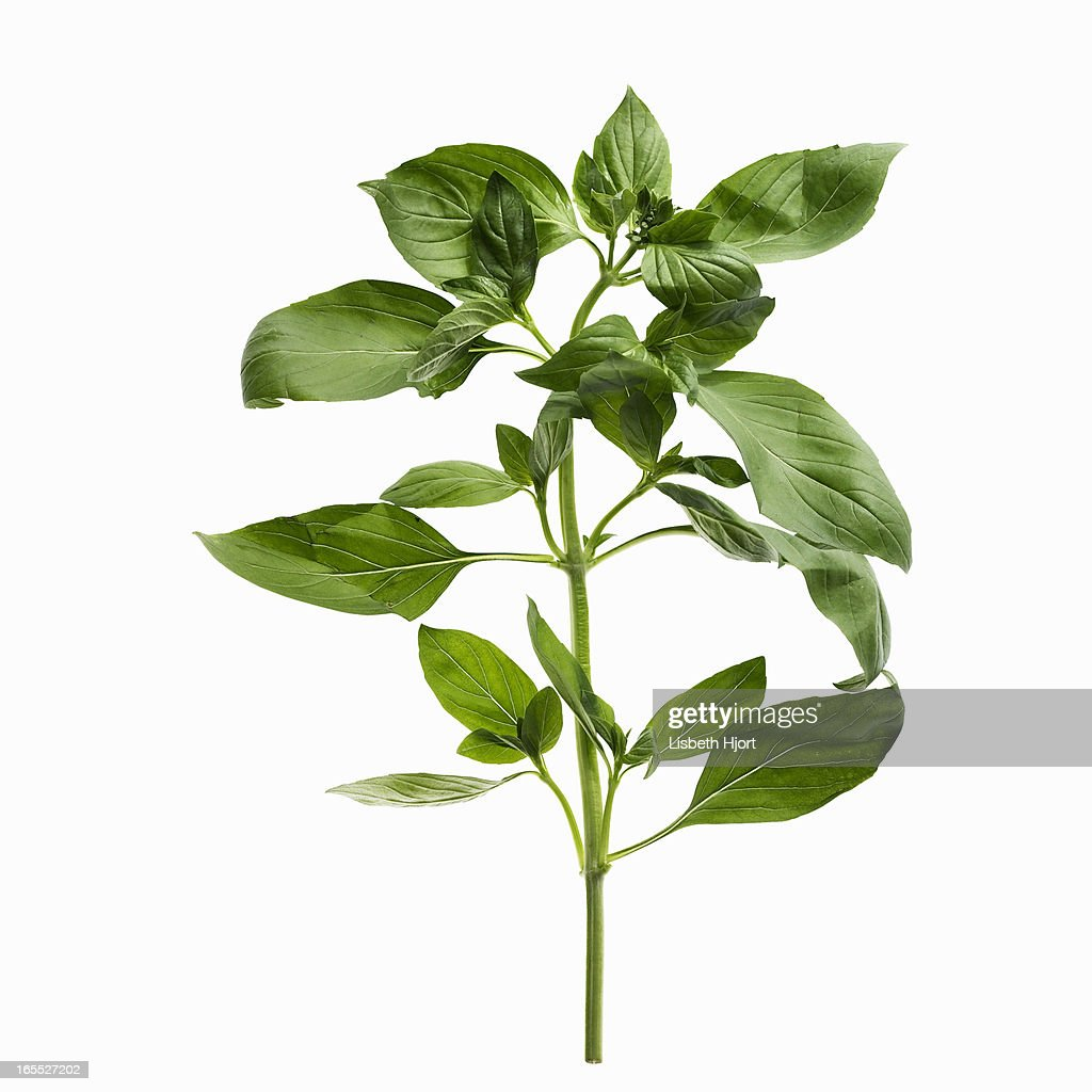 Close up of sprig of herbs : Stock Photo