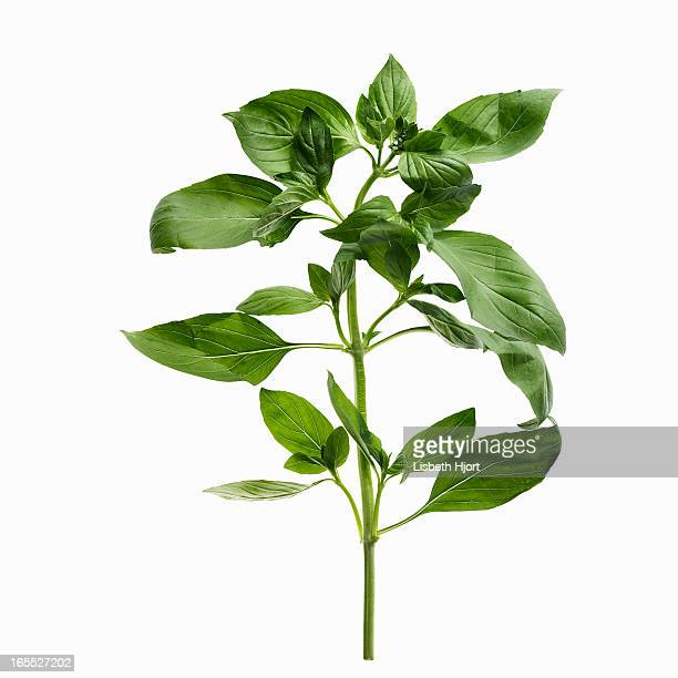 close up of sprig of herbs - twijg stockfoto's en -beelden
