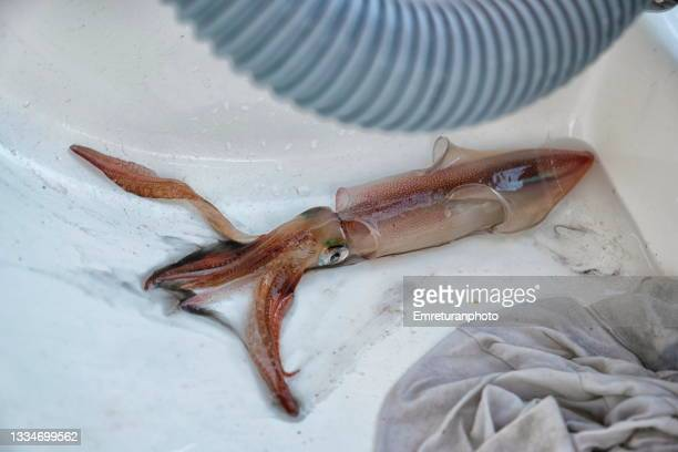 close up of squid caught in aegean sea - emreturanphoto stock pictures, royalty-free photos & images