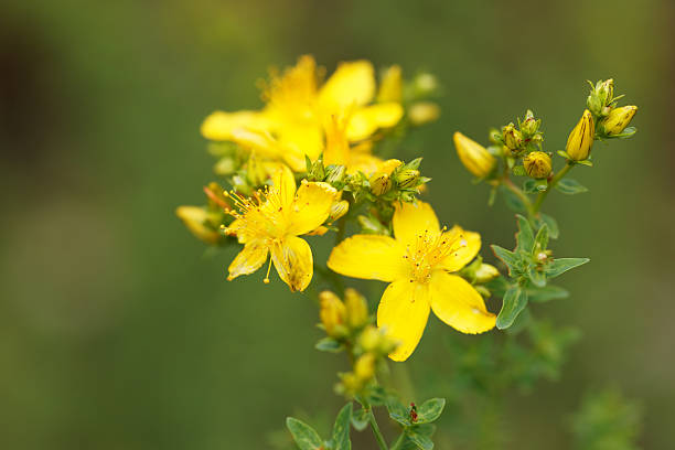 a research on st johns wort and its efficacy as a natural remedy for depression