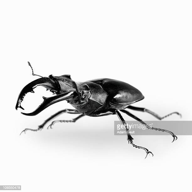 close up of stag beetle - beetles with pincers stock pictures, royalty-free photos & images