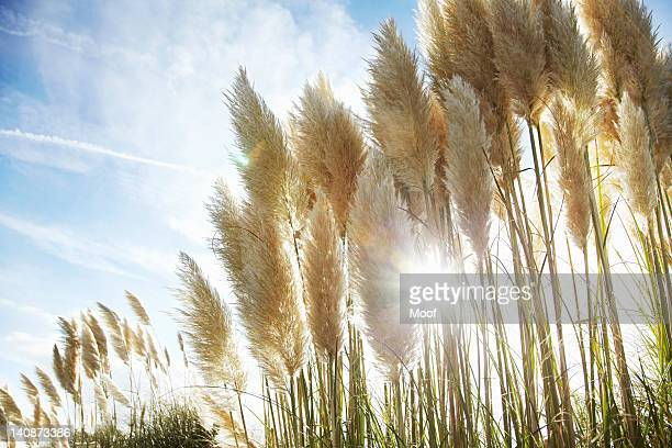 Close up of stalks of wheat outdoors