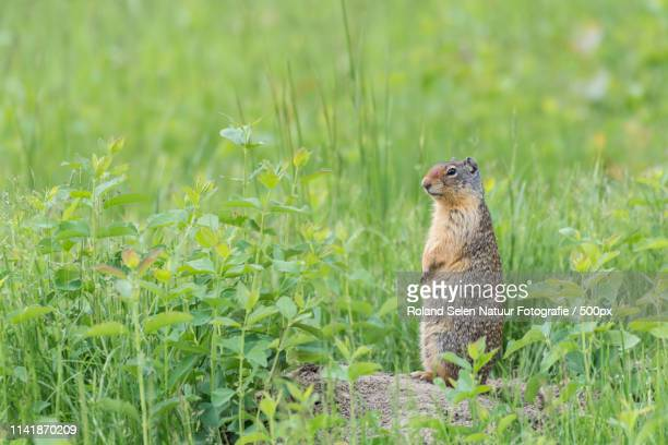 Close up of standing in grass squirrel
